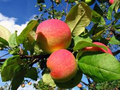 How to Prune Columnar Apple Trees