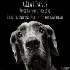 Great Dane Dog Breed Information Great Dane Quotes, Great Dane Funny, Great Dane Dogs, I Love Dogs, Puppy Love, Merle Great Danes, Blue Great Danes, Weimaraner, Thor