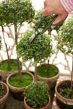 Tone on Tone - Interior & Garden Design: My Myrtle Topiaries in Southern Living Topiary Plants, Topiary Garden, Boxwood Topiary, Topiary Trees, Garden Pots, Container Plants, Container Gardening, Plant Design, Garden Design