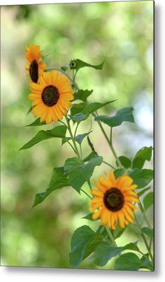 Common Sunflower Metal Print by Jenny Rainbow. All metal prints are professionally printed, packaged, and shipped within 3 - 4 business days and delivered ready-to-hang on your wall. Choose from multiple sizes and mounting options. Small Flowers, Beautiful Flowers, Sunflower Photography, Small Sunflower, Got Print, Any Images, Photo Displays, Art Techniques, Fine Art Photography