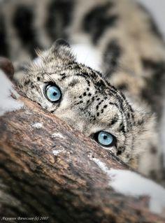 Eyes by Sinkau686.Snow Leopard.