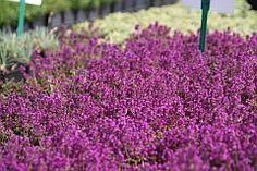Thymus praecox 'Purpurteppich'