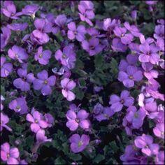 Tarharistikki<br>Aubrieta x cultorum 'Cascade Blue' Plants, Blue, Plant, Planets