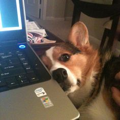 Clearly, The Computer Is Getting Far Too Much Attention #corgi