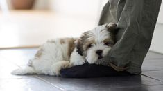 So cute! Lhasa Apso resting on owners feet