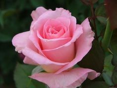 The radiant pink Tiffany Rose has been a garden staple for decades and is the third variety featured in the novel. This photo was found at Annelies Rose Gardening Made Easy.