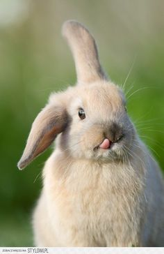 Floppy the bunny,look at his little tongue. HaHa