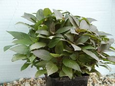 Hygrophila cmpact - potted