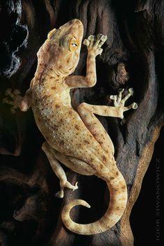 Ptyodactylus guttatus - Fan-fingered gecko