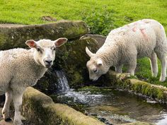 Jervaulx sheep, Juan J