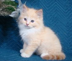 Red Mitted Lynx Mink Ragdoll