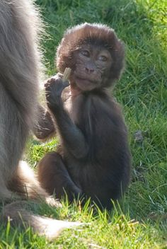 ZooBorns: Baboon