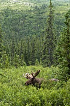 I like to look at pictures of moose. Me, too!  My favorite animal of all time...
