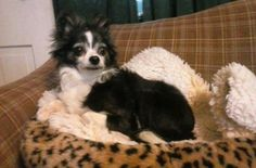 5 / 5    ***SENIOR*** Petango.com – Meet Charlie, a 7 years 3 months Chihuahua, Long Coat / Mix available for adoption in LAKE CITY, MN Address  215 P. O. Box, LAKE CITY, MN, 55041  Phone  (651) 448-0396  Website  http://www.hahumanesociety.org  Email  jessbruce09@yahoo.com