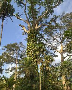 Somewhere in Aburi Botanical Gardens #JustATree #Aburi #botanical #nature #world by atogm