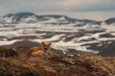 Cultura Inquieta - Minero ruso fotografía zorros en el Círculo Ártico