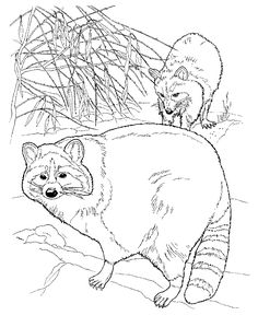 raccoons coloring page