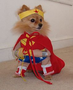 Meet Phoebe. She is entered into PupLife's 4th Annual Halloween Dog Costume Photo Contest. She is a 7 year rescued Pomeranian and works as a therapy dog. Of course, Phoebe is dressed as Wonder Woman. What a cute costume, don't you agree? Good luck to Phoebe!