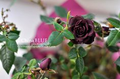 The Dry Rose Blooms