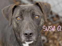 INDIANA ~ URG'T ~ SusieQ is an adoptable Labrador Retriever Dog in Indianapolis, IN. SusieQ is a gentle soul! She is 2 years old and came to the shelter as a surrender. She is very sweet! She likes to be close to peopl...Indianapolis Animal Care & Control, Indianapolis, IN  317-327-1397