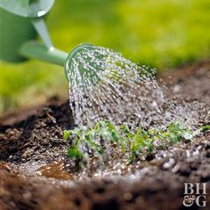 Step Water It In Once your bed is planted and mulched, give your plants a good soaking. Hint: If your mulch is dry, it may absorb some water before your plants can. Soak dry mulch well to make sure your plants get enough moisture. Garden Steps, Garden Tools, Garden Bed, Container Gardening, Gardening Tips, Determinate Tomatoes, Growing Tomatoes In Containers, Tomato Plants, Garden Care