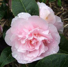 kamélia: örökzöld, fagyokig virágzik, savanyú talaj, félárnyék