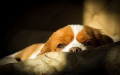 Science can help explain why too little sleep makes us so emotional King Charles Spaniel, Cavalier King Charles, Poetry Prompts, Sleeping Dogs, Human Emotions, Dog Boarding, Dog Quotes, All Dogs, Dog Life