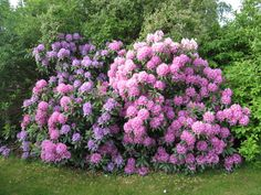 By Susan Patterson, Master Gardener Rhododendron bushes are similar to azaleas and members of the genus Rhododendron. Rhododendrons bloom in late spring and provide a burst of color before summer flowers set in. They vary in height and shape, but all produce a plethora of blooms that are perfect for shady, acid-rich areas in the…