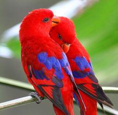 Red Lories (Eos bornea), Indonesia, New Guinea, Australia