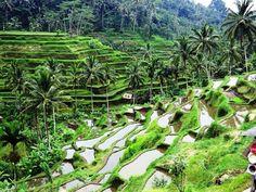 Breathtaking Beauty of Rice Terreced Fields, Bali, Indonesia