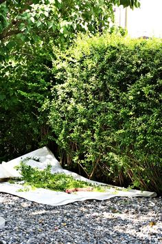Seriously...why have I never thought of this?  Use a tarp when trimming hedges/bushes and let trimmings fall on the tarp for easy cleanup. Benita Larsson is brilliant!