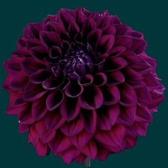Add different shades of purple to the flowers to give texture and depth. Dahlias are pretty much my favorite.