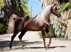 Baby Arabian Horses for Sale | Back to Arabian Horse Farms