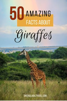 50 Fascinating Facts About Giraffes - 50 Fascinating Facts About Giraffes including Basic Giraffe Facts, Giraffe Neck & Body Facts, Giraf - Giraffe Facts, Giraffe Neck, Funny Giraffe, African Elephant, African Animals, Fun Facts About Giraffes, Giraffe Habitat, Giraffe Species, Giraffes