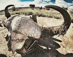 Crâne de buffle au parc de Tarangire / Tanzanie 2014