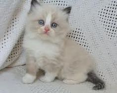 baby ragdoll kittens