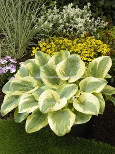 Hosta 'Time Tunnel'