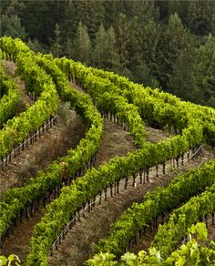 Beautiful vines hugging the contours of the hill. Home Wine Cellars, Wine Vineyards, Modern Landscaping, Fine Wine, Wine Country, Wine Tasting, Grape Vines, Scenery, Around The Worlds