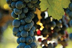 Northern Virginia Winegrapes