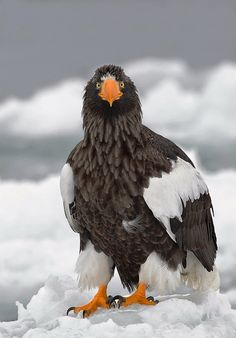 White-tailed Sea Eagle, Japan Shooting from the upper deck of our vessel afforded top-side images of the eagles with spectacular ice backgrounds. All Birds, Birds Of Prey, Love Birds, Beautiful Birds, Animals Beautiful, Eagles, Steller's Sea Eagle, Raptors, All Gods Creatures
