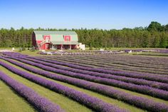 I can almost smell the fragrant flowers right now! Near Door County Lavender farm
