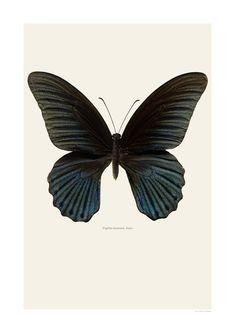 Papilio memnon, hane | Liljebergs