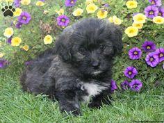 Noel, Bichon Mix puppy