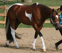 Tri-colored Paint Quarter Horse. Pretty!! I love that his hooves are his natural color too!