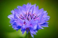 Bachelor's Button Flowers - Cornflowers