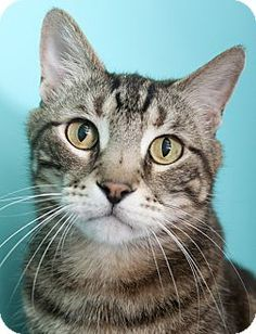 Chicago, IL - Domestic Shorthair. Meet Tiger, a cat for adoption. http://www.adoptapet.com/pet/17948716-chicago-illinois-cat
