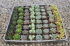 """2"""" Wedding Succulents  $2.60 for 2"""" succulents in tera cotta pots (need to do transfer ourselves...)"""