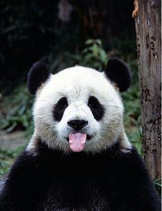 things you didn't know about pandas A panda with its tongue out! This panda got styleA panda with its tongue out! This panda got style Animals And Pets, Baby Animals, Funny Animals, Cute Animals, Cute Bear, Cute Panda, Panda Funny, Beautiful Creatures, Animals Beautiful