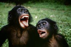 Bonobos - fous rires -