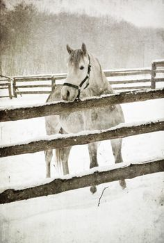 Anne's horse, Silver Girl, in the winter paddock.